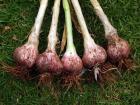 Glenlarge Garlic