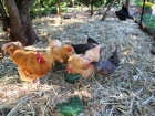 Happy chooks