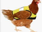 chook, high-vis jacket, chicken