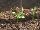 Now is the time to plant peas!
