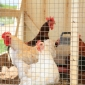 Chook enclosure