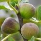 Luscious figs