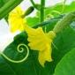 Hand-pollinating zucchini flowers