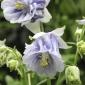 Aquilegia vulgaris 'Double Pale Blue' by Helen McKerral