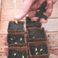 sowing melon seed