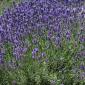English lavender 'Edgerton Blue'