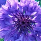 Cornflowers are a safe option for hayfever sufferers