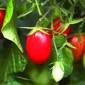 Tomatoes varieties for slicing, stuffing, sauces and more