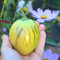 A ripe pepino.