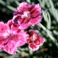 Raspberry Ripple dianthus