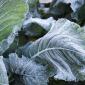 Frost Broccoli