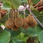 Kiwi fruit on vine