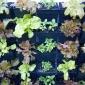Basil and lettuce vertical garden
