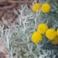 Yellow button flowers of santolina