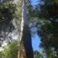 Mountain ash, Tasmania