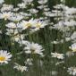 Pyrethum daisies