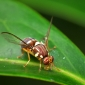 Qld Fruit Fly