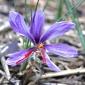 Saffron flower showing stigma