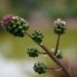 Salad burnet flower