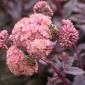 Red succulent, sedum