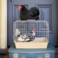 travelling with chooks