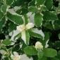 Variegated apple mint