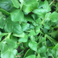 Warrigal greens are an edible succulent.
